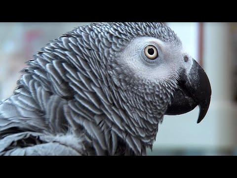 Einstein vs Griffin   The World's Smartest Parrots   Extraordinary Animals   Earth