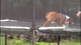 Gus The Bulldog Jumps On Trampoline