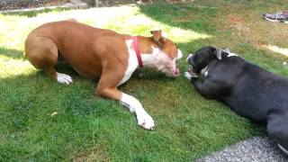 Boxer Play Fight Staffordshire Bull Terrier