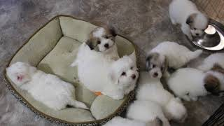 Coton Puppies For Sale - Isha and Kaley - 8/31/20