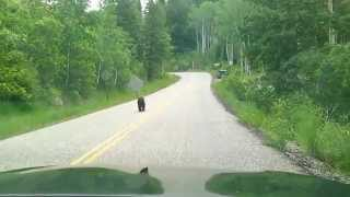 Black Bear Steals Lunch