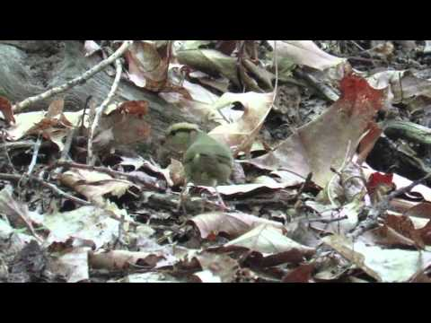 Worm-eating Warbler gathering spiders
