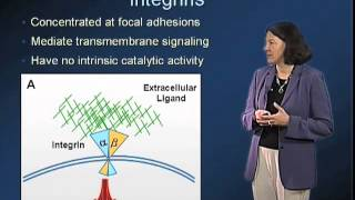 Extracellular Matrix - Mary Beckerle (Utah)