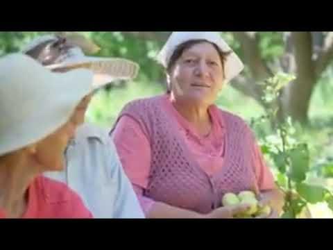 Сбор Урожая Абрикосов в Армении.