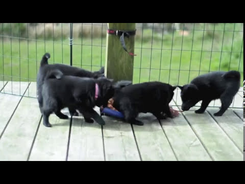 Very cute Schipperke puppies (HD)