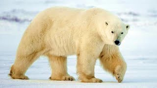 Белые медведи (рассказывает зоолог Никита Овсянников)