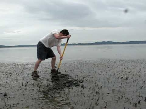 Man Digs Giant Clam (Geoduck) on edge of Puget Sound.