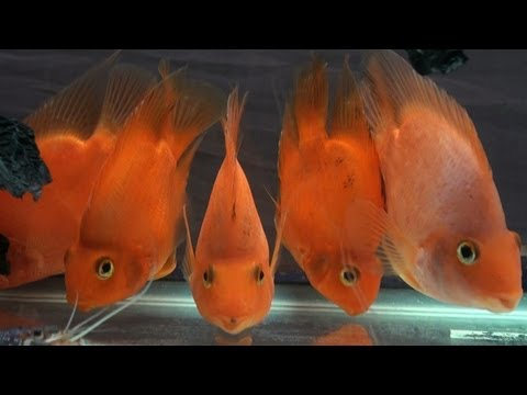 Blood Parrot Cichlid fish and Red Lobster, Aquarium fish