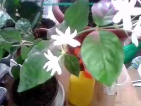 Жасмин самбак в домашних условиях! Супер цветок для дома, самый ароматный!