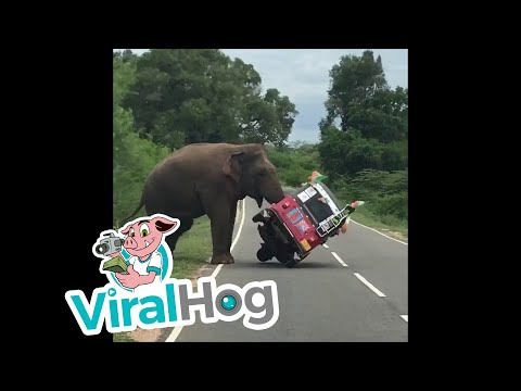 Elephant Tips Over Tuk Tuk in Search of Food || ViralHog