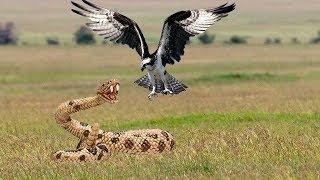 Los halcones lanzan serpientes desde el acantilado al suelo para proteger a su bebé