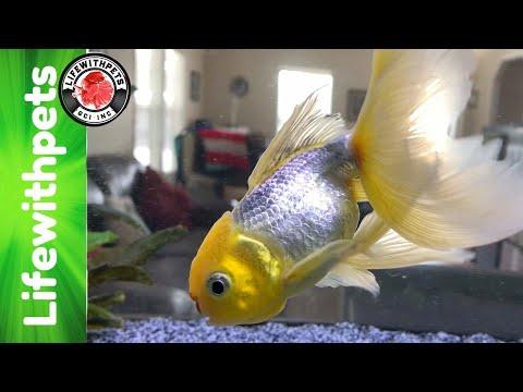 Euthanizing Our Goldfish (Belfins Story)