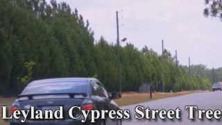 *Plant Leyland Cypress Trees* + Privacy Tree+Fast Growing Tree+