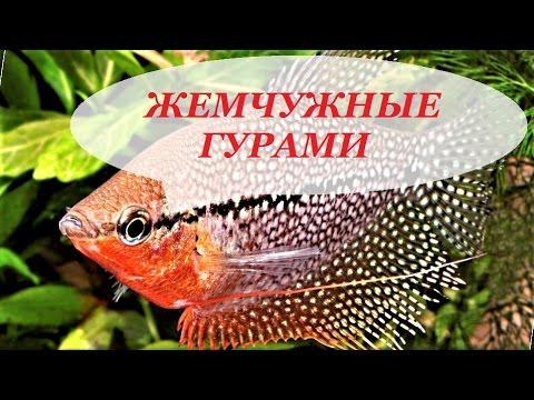 Аквариумная рыбка Гурами жемчужный. Содержание жемчужных гурами, размножение, уход, совместимость