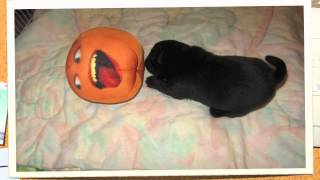Annoying Orange with Pug Puppies