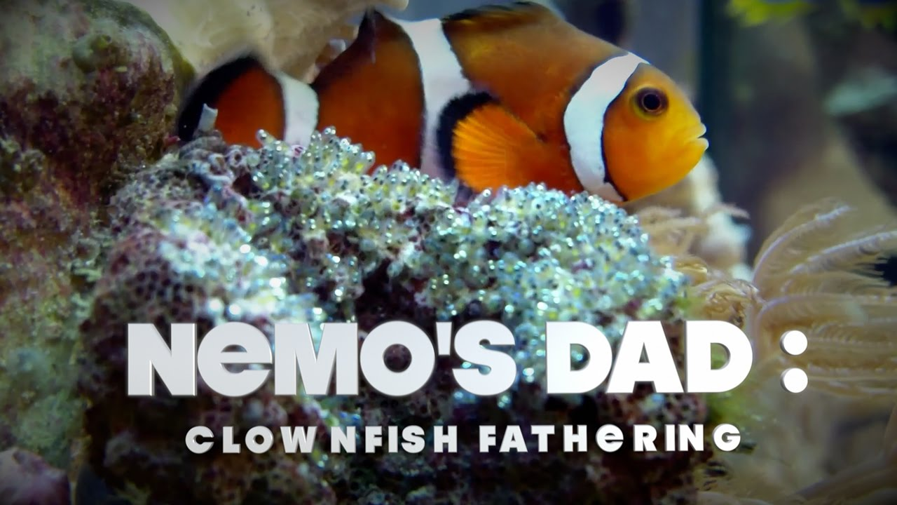 A screenshot from Nemo's Dad: Clownfish Fathering - EMMY Winner