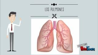 Circulatorio? respiratorio qué sistema importante y ¿Por es el