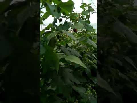 """Питомник """"Тургеньская ягода"""", ремонтантный сорт малины Самохвал."""