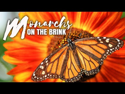 Monarchs On The Brink: Can We Save This Imperiled Butterfly From Extinction?