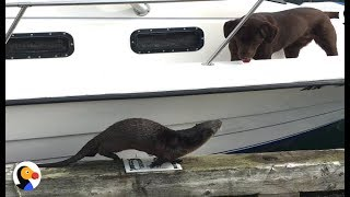 Otter Wants To Play With Dogs SO BADLY   The Dodo
