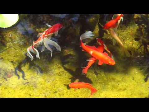 Goldfish sarasa and comets in my pond water lilies for Comet pond fish