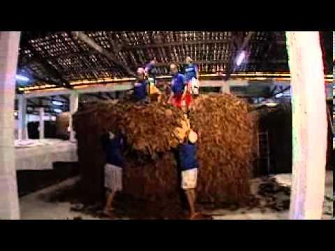 08. Fermentarea frunzelor de tutun