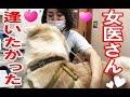 女医に恋する秋田犬、その気持ちを全身でアピールする姿が何とも健気で可愛すぎる。