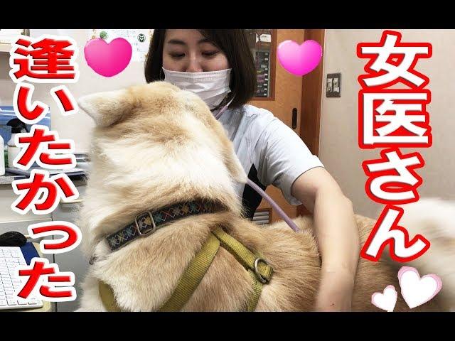 女医に恋する秋田犬・逢いたかったです.animal Hospital