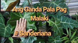 #Alocasia Sanderiana Maganda Kapag Malaki Sila. By Lola Malyn