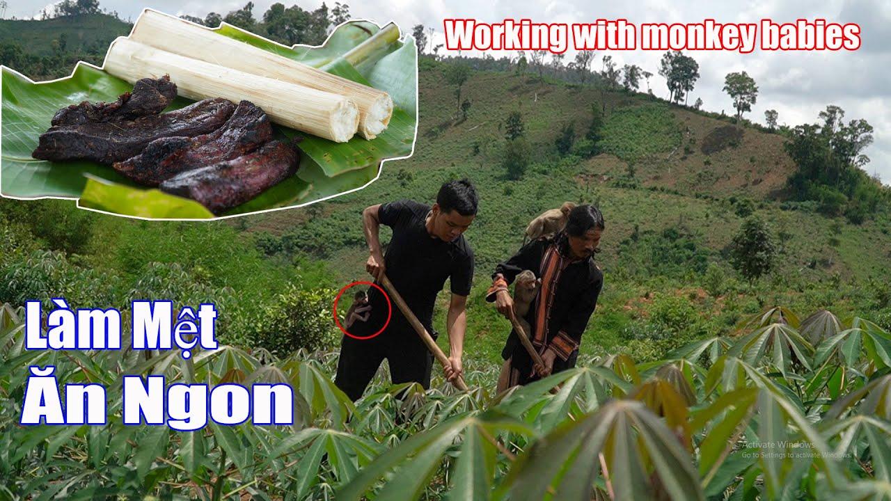 Về Làng Làm Rẫy Và Món Thịt Hong Khói Cơm Lam Ngon Tuyệt • Working with monkey babies