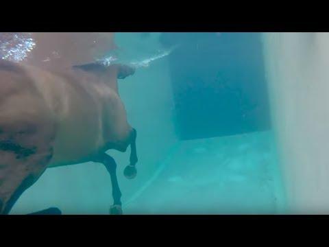 衝線背後2: 第一次被人騎及學游水,驚到碌白眼,適騎訓練 Racehorses' 2nd step: Breaking in