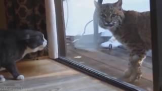 Угарные кошки, Самое смешное видео про кошек и котов