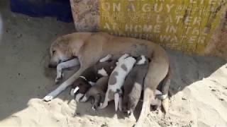 Индия, Гоа - собаки пляжа Палолем.