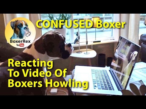 CONFUSED Boxer Dog Reacting To Video Of Boxers Howling To Harmonica 😁