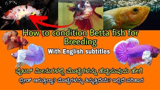 How to condition the betta fish for breeding How to increase egg count in betta fish Mathsya jagattu