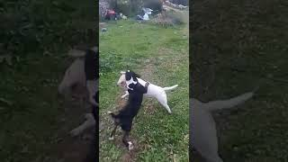 Unexpected dog fight no injuries luckily, between the mini bull terriers, presa canario just watchin
