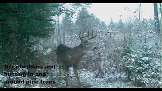 Deer bedding in and around Pines...  Bigwoods #3