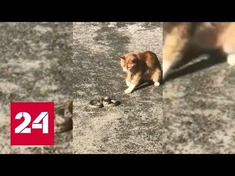 Смотреть Дворовый кот убил змею, переполошившую посетителей ТЦ в Волгограде - Россия 24 онлайн