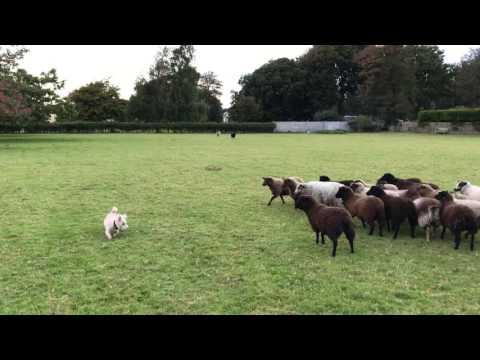Worlds Worst Sheepdog