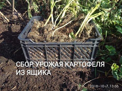 Картофельный экперимент. Какой собрала урожай со второго ящика
