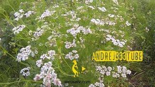 Il Coriandolo (Coriandrum sativum) - Erbe spontanee e piante selvatiche - Antisettico, fungicida etc