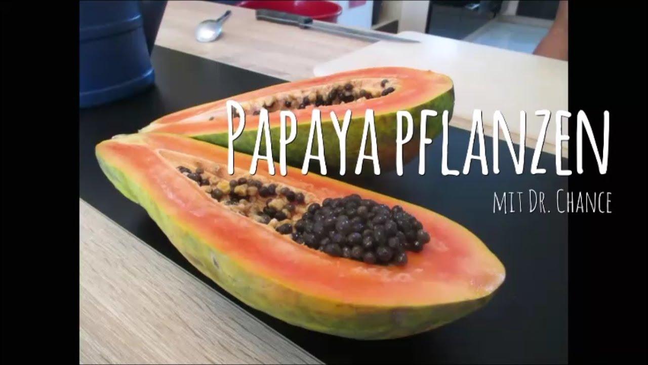 papaya zuhause anbauen anpflanzen pflanzen samen selbst ziehen vermehrung keimen lassen anzucht. Black Bedroom Furniture Sets. Home Design Ideas