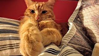Кошка, которая хорошо устроилась. Коты и кошки / видео приколы