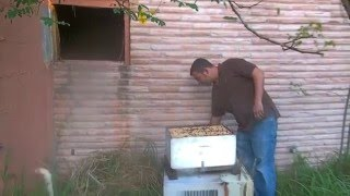 Honey Bee Hive removal- Exposed Hive indoors by Luis Slayton of Bee Strong Honey and Bee Removal #12