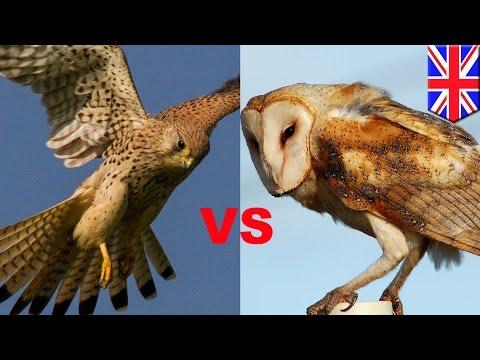 Pertempuran dua burung besar tertangkap kamera - Tomonews