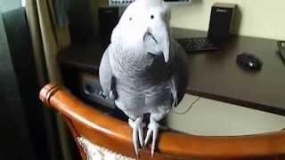 Говорящий серый попугай по имени Карлуша.