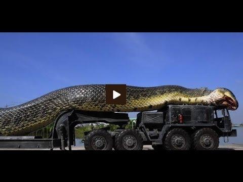 Real anaconda in amazon - photo#8