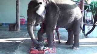 Слон массажист. Elephant masseur.