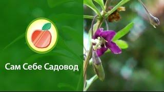 Ягода Годжи (дереза). Выращивание