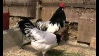 poule de race Lakenfelder